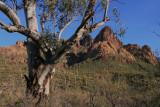 Eucalyptus tree - Non-native species growing near Lewis and Pranty Creek