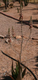 Aloe (sinkatana x hereroensis) x pubescens