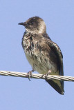 PURPLE MARTIN - JUVENILE