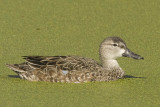 BLUE-WINGED TEAL - JUVENILE