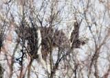 BALD EAGLES AT EASTWOOD PARK, DAYTON