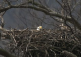 ADULT BALD EAGLE INCUBATING EGG(S) ON THE NEST