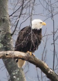 ADULT BALD EAGLE LOOKING AT MATE IN NEARBY NEST