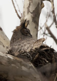 3/21 - GREAT HORNED OWL