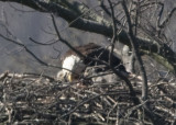 4/9 - 3 EAGLETS ON THE NEST