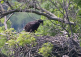 5/24 - IMMATURE EAGLE IN THE NEST