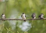 TREE SWALLOWS - IMMATURE