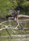 DOUBLE-CRESTED CORMORANT -- 1ST YEAR