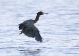 GREEN HERON - AN UNUSUAL CATCH