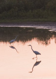 GREAT EGRETS - THE OXBOW AT DUSK