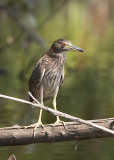 BLACK-CROWNED NIGHT HERON - IMMATURE