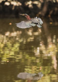 GREEN HERON ---REFLECTIONS