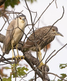 BLACK-CROWNED NIGHT HERONS, ADULT and JUVENILE