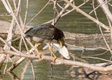 GREEN HERON gone fishin'  No. 1 of 3