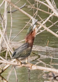 GREEN HERON gone fishin' No. 2 of 3