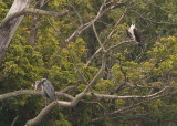 OSPREY & GREAT BLUE HERON SHARE A TREE