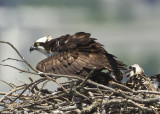 NESTING OSPREYS AT BELLE HAVEN MARINA, ALEXANDRIA, VA