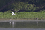 GREAT EGRET, SNOWY EGRET, & GREAT BLUE HERON