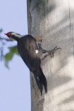 PILEATED WOODPECKER W/YOUNG