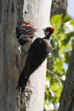 PILEATED WOODPECKER FEEDING YOUNG