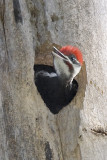 PILEATED WOODPECKER - MALE JUVENILE
