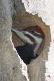 PILEATED WOODPECKER INSIDE THE NEST