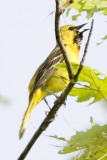 ORCHARD ORIOLE - FEMALE
