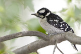 DOWNY WOODPECKER - JUVENILE