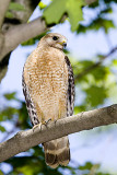 RED-SHOULDERED HAWK NEAR THE NEST