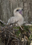 6/5 - HAWK CHICK  CALLING FOR FOOD