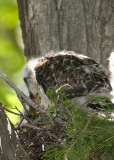 6/6 - LARGEST HAWK CHICK MAKES A MEAL OF THE FROG