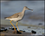 Lesser Yellowlegs with Lunch