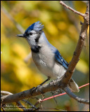 Blue Jay in Fall Colors