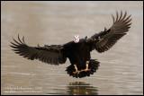 Musckovy Duck Landing