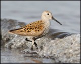 Dunlin - Playing in the Surf