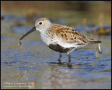 Dunlin with Lunch