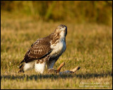 Red-tailed Hawk - Rabbit for breakfast I