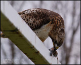 Red-tailed Hawk with Lunch I