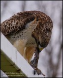 Red-tailed Hawk with Lunch II