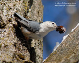 White-breasted Nuthatch with Lunch