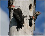 Pileated Woodpeckers and Young
