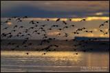 Shorebirds in Early Morning Flight II