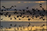 Shorebirds in Early Morning Flight