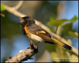 American Redstart I
