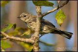 Yellow-rumped Warbler - Juvenile