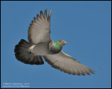 Rock Pigeon in Flight