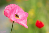 Poppies and Bee 2