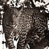 Africa in Black and White -Leopard