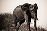 Africa in Black and White-Elephant after a bath - Interpretation 128