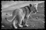 Africa in Black and White - Baby Lion